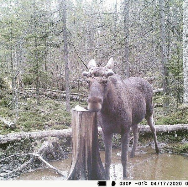 Волки, медведь и лось угодили в фотоловушку охотников под Петербургом
