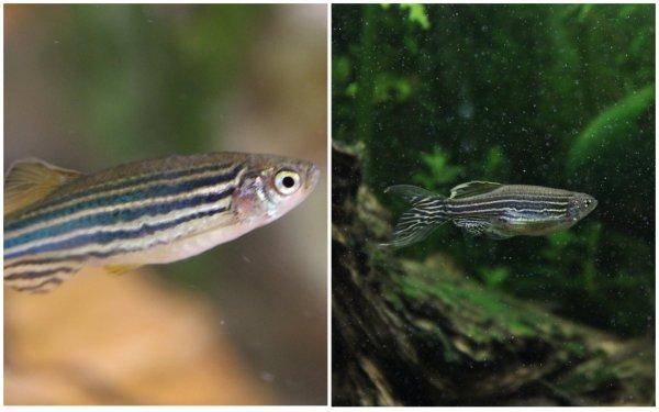 Российские биологи раскрыли феномен отчаяния у рыб