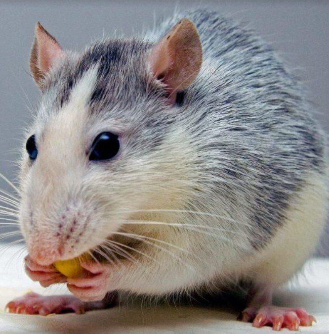 Исследователи имплантировали крысам человеческую мини-печень