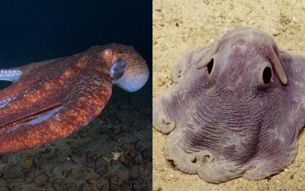 Исследователи сфотографировали живущего на глубине 7 км осьминога «Дамбо»