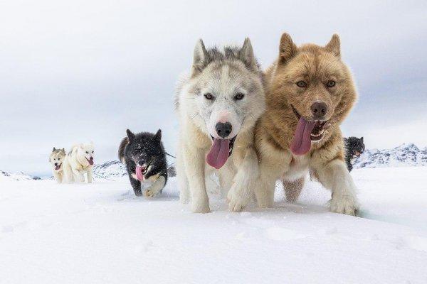 Жители Сибири начали использовать ездовых собак более 9 500  лет назад