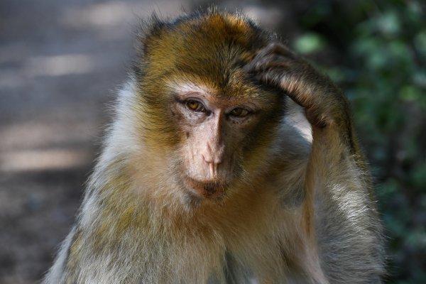 Упражнения с гантелями задействуют в организме обезьян ту же древнейшую моторику, что есть и у человека; Фото: Pixabay