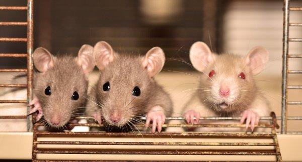 Инстинкт материнства помог 40% крыс победить кокаиновую зависимость